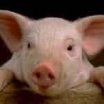 Токийские ученые предложили выращивать человеческие органы в организме свиньи