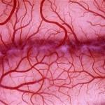 Новый метод выращивания кровеносных сосудов